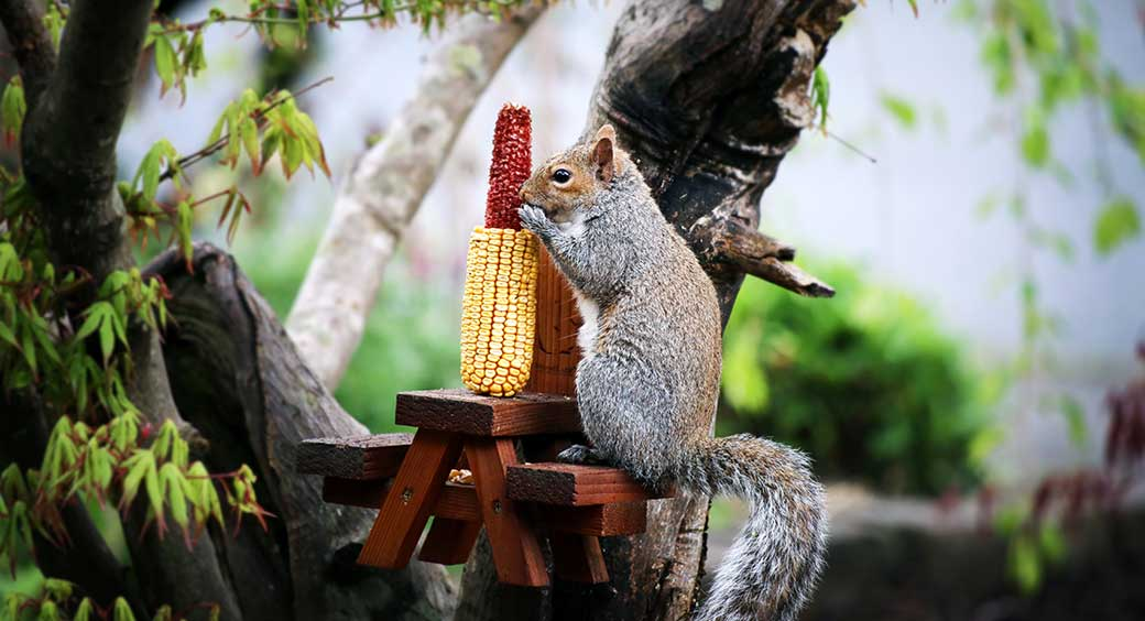 Magazines for Quarantine Hobbies - Squirrel Sitting on a Tiny Picnic Bench Eating Corn