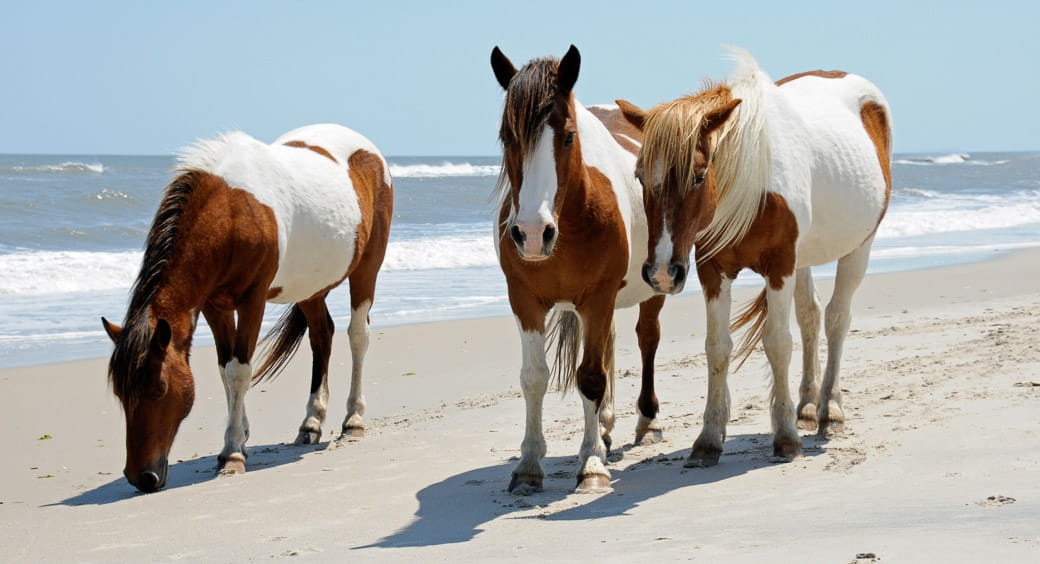 Wild horses walking the beach at Assateague Island