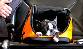 Small black and white dog sleeping in a carry-on container