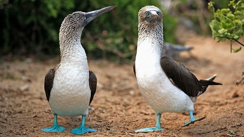 Two adult blue-footed boobies, Galapagos, Ecuador