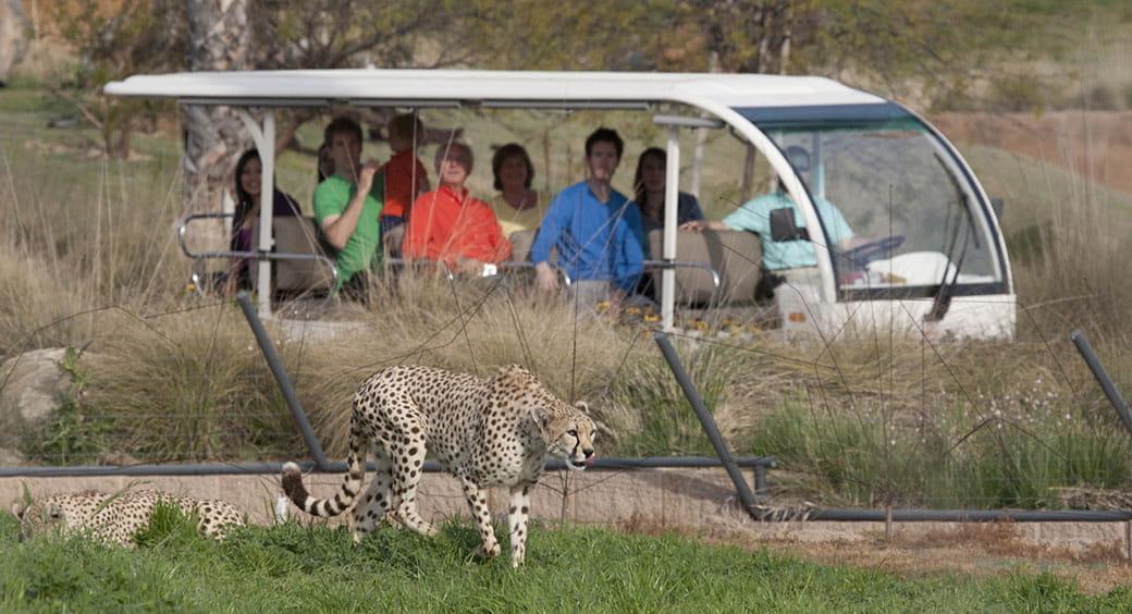 Cheetah at the San Diego Zoo