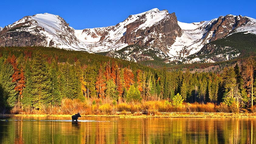 A moose standing in a lake in a brightly colored autumn forest with snowy mountains in the distance